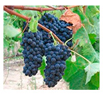 Grapes Syrah