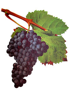 Tannat wine grapes