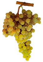 Arinto Wine Grapes