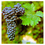 Cabernet Sauvignon Wine Grape