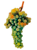 Moscatel Grapes
