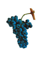 Touriga Nacional Wine Grapes